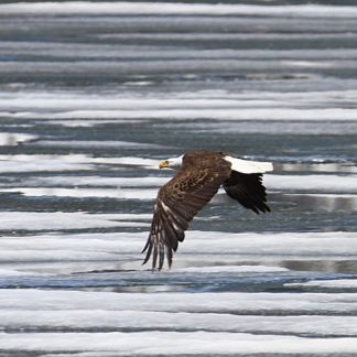 American Eagle in Flight