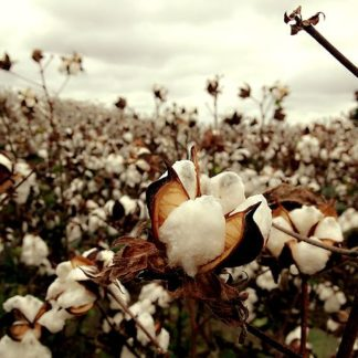 American South-Cotton Field