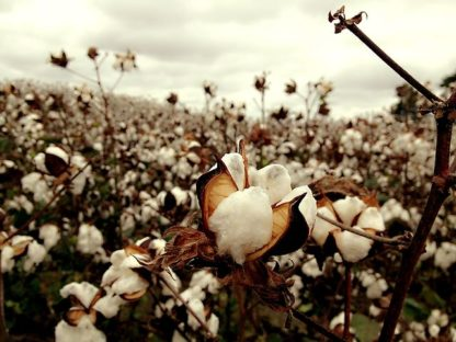 Southern/Texas Accent Reduction-Cotton Field