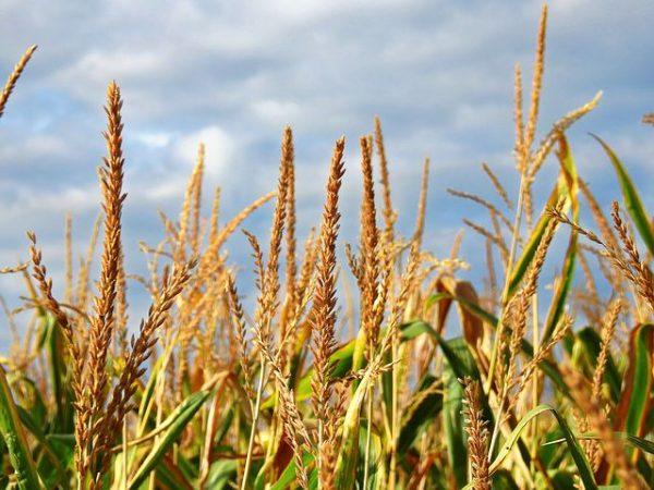 Farm Belt-Wheat Field
