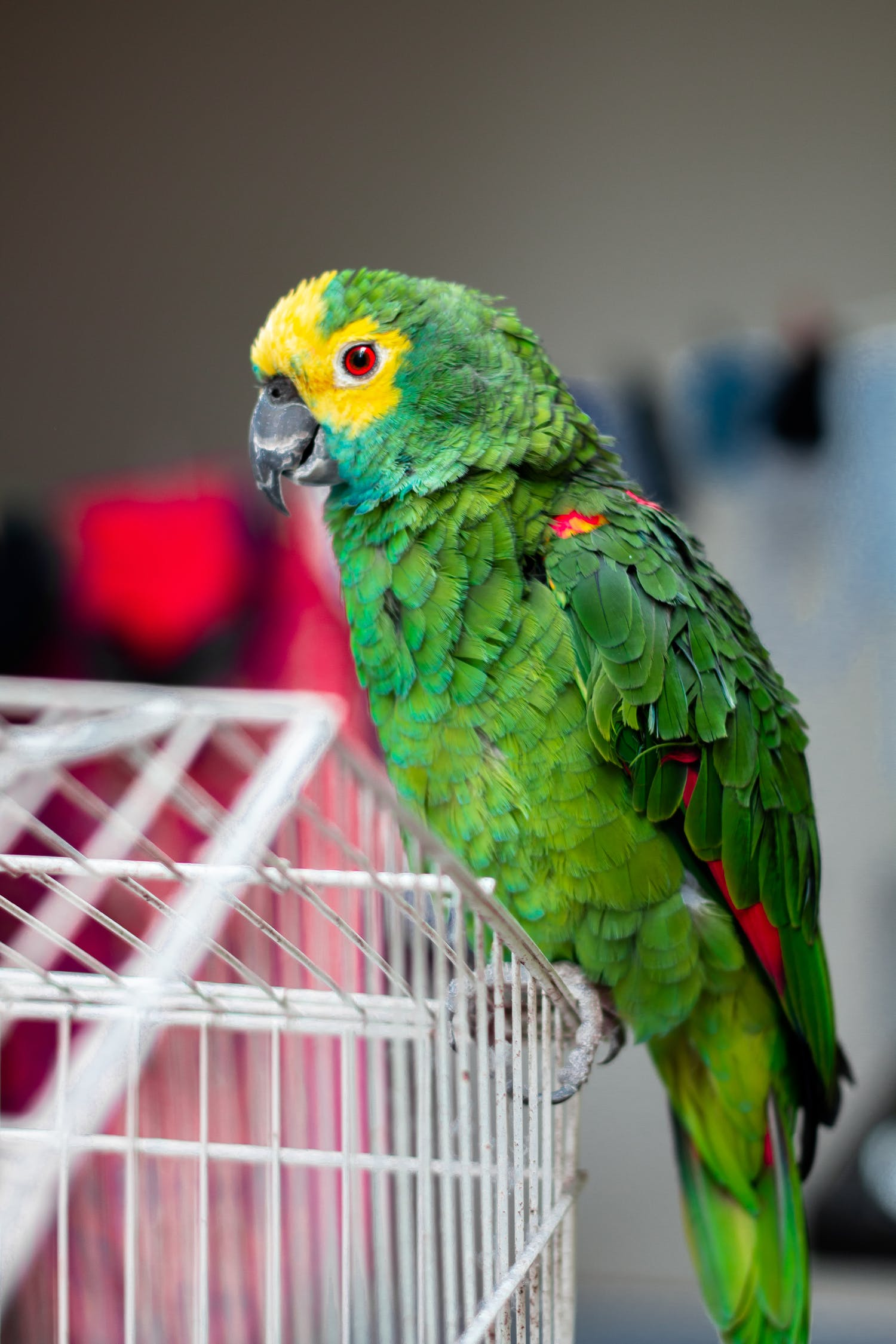 Dialect Coaching-parrot